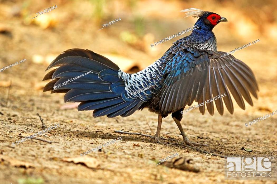 Stock Photo: Kalij Pheasant male displaying.