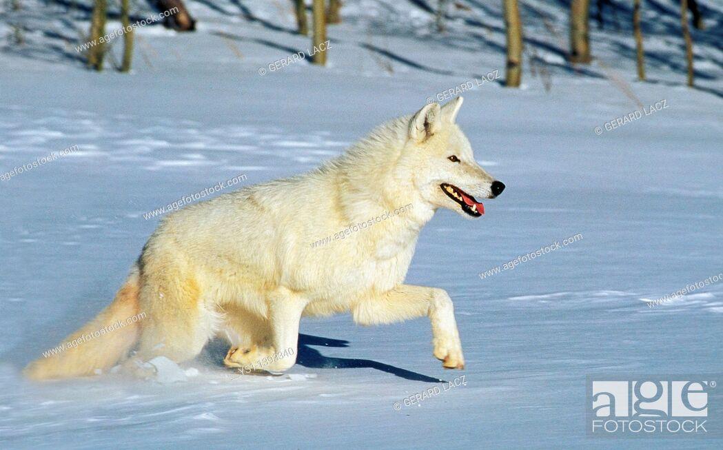 Stock Photo: Arctic Wolf, canis lupus tundrarum, Adulte running on Snow, Canada.