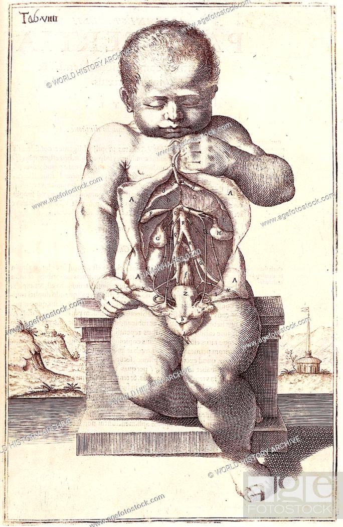 Anatomical Drawing Of A Childs Body By Adriaan Van Den Spiegel