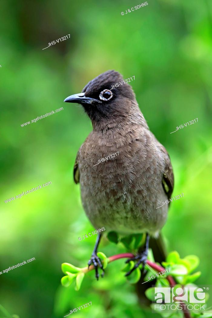 Stock Photo: Cape Bulbul, (Pycnonotus capensis), adult on branch, Addo Elephant Nationalpark, Eastern Cape, South Africa,.
