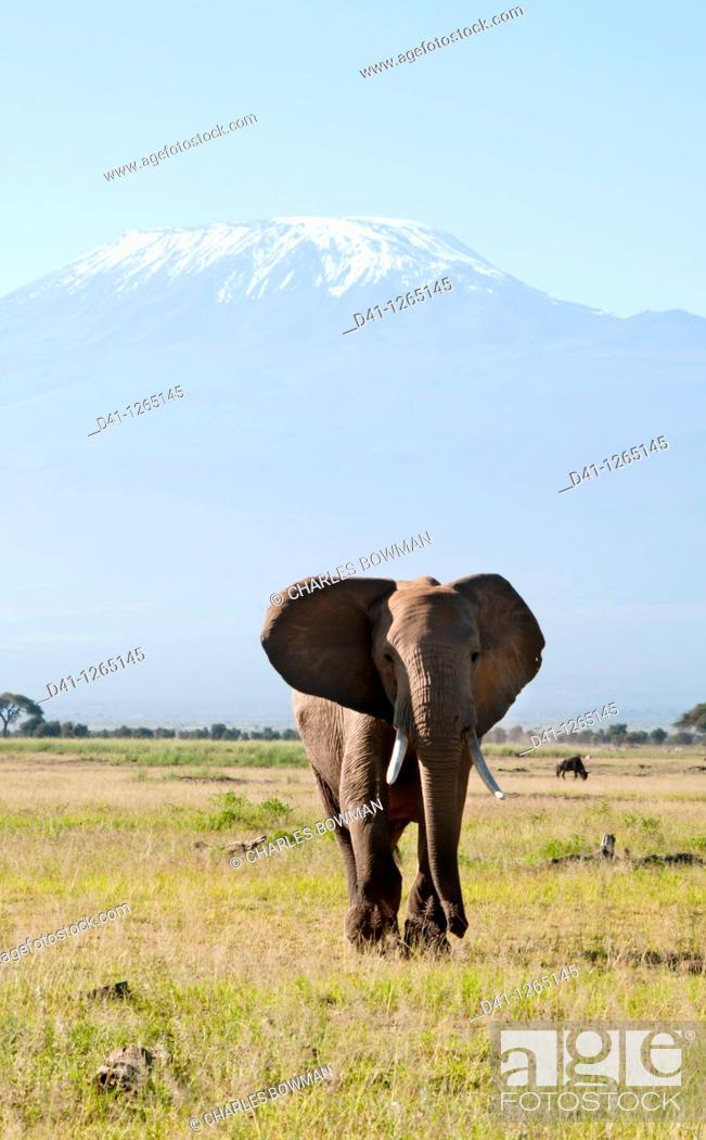 Stock Photo: Kenya, Amboseli, elephant solitary bull with Kilimanjaro.