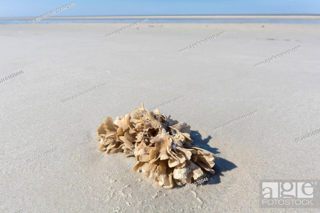 Stock Photo: Flustra foliacea. Colony of animal, often mistaken for a seaweed, on tidal mudflat. Schleswig-Holstein Wadden Sea National Park, Germany.