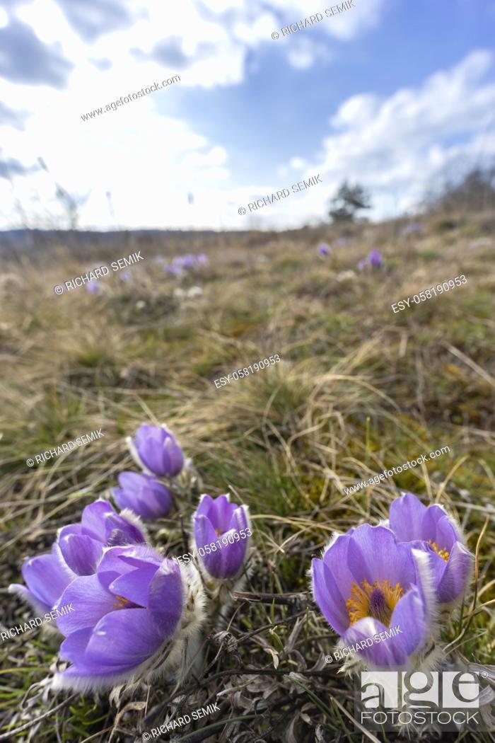 Stock Photo: Pasque flower, National park Podyji, Southern Moravia, Czech Republic.
