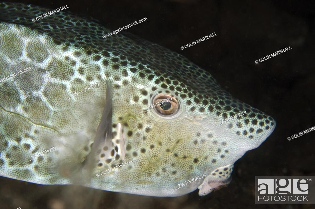 Imagen: Shortsnout Boxfish (Ostracion rhinorynchos), night dive, Seraya House Reef dive site, Seraya, near Tulamben, Bali, Indonesia.