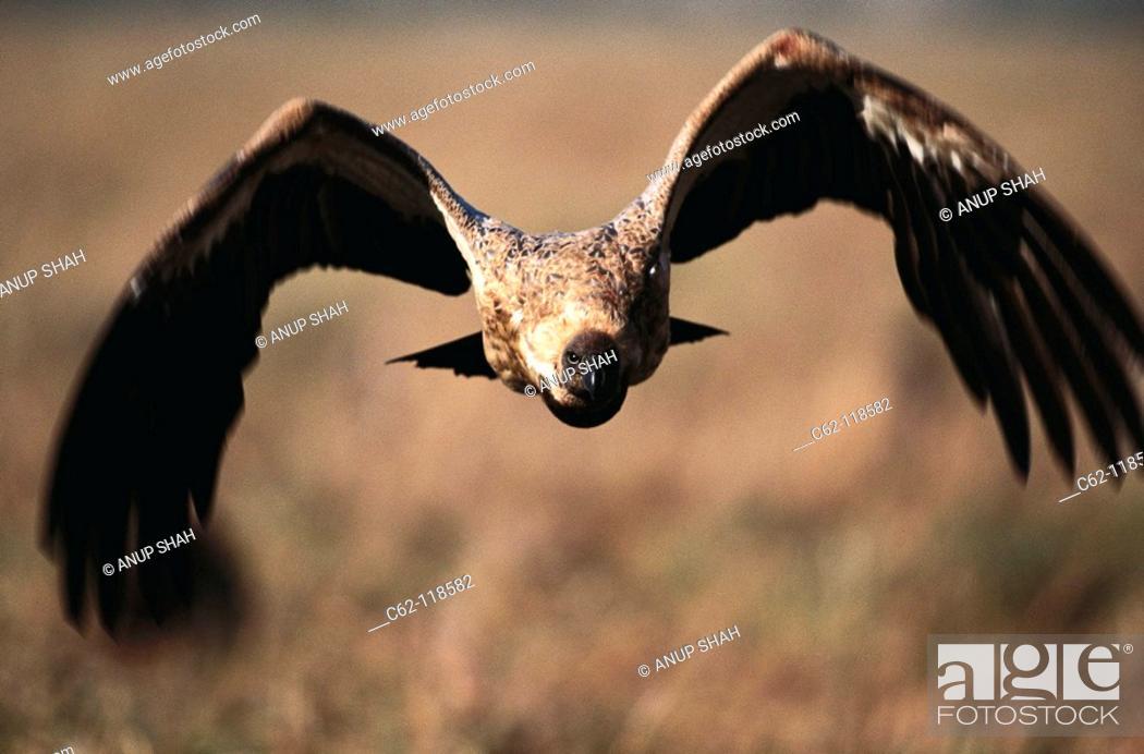 Stock Photo: Indian White-backed Vulture (Gyps bengalensis). Masai Mara, Kenya.