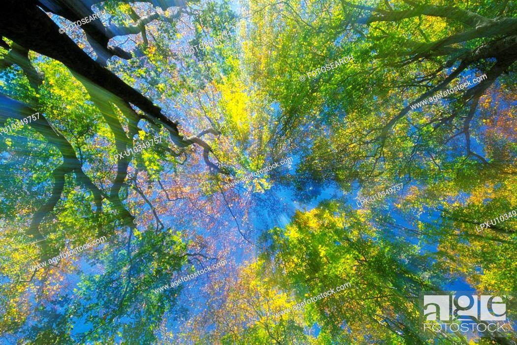 Stock Photo: Trees in the Woods, Low Angle View, Lens Flare.