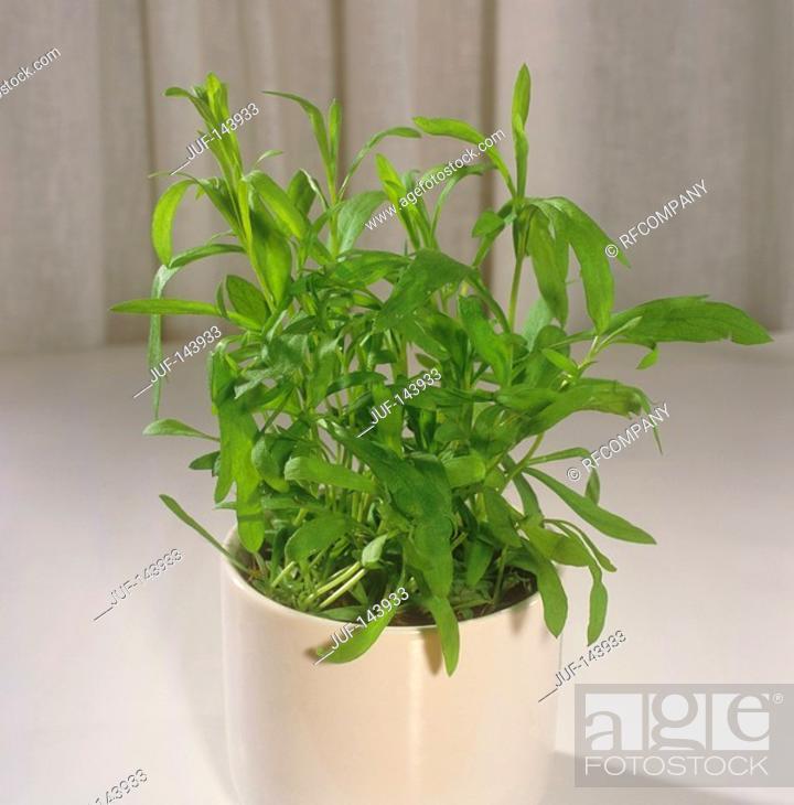 Stock Photo: tarragon / Artemisia dracunculus.
