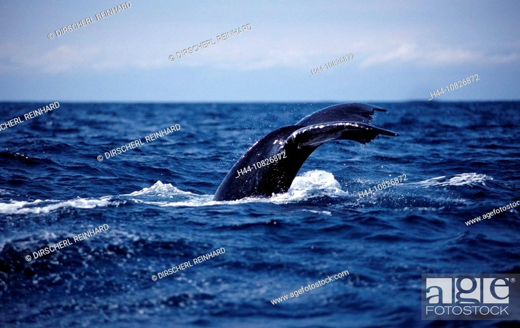Stock Photo: Humpback whale tail fin, Dominican Republic, Caribbean, Silverbanks, Caribbean Sea, animal, animals, balaenopteridae,.