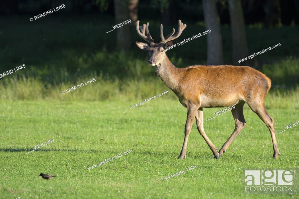 Imagen: Red Deer, Cervus elaphus, in summer.