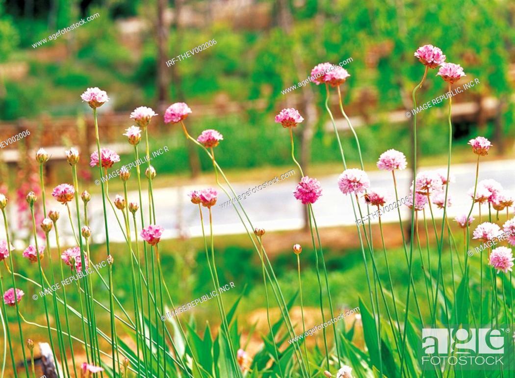 Stock Photo: flower, Scabiosa mansenensis.