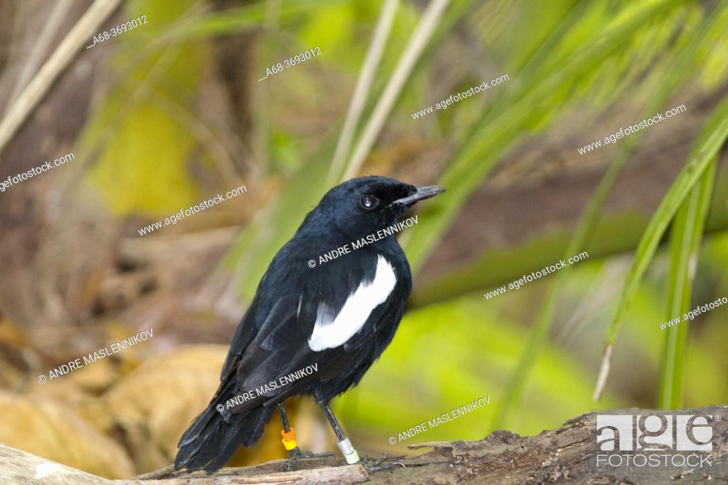 Stock Photo: Denis Island. Seychelles Magpie-Robin, Copsychus sechellarum.