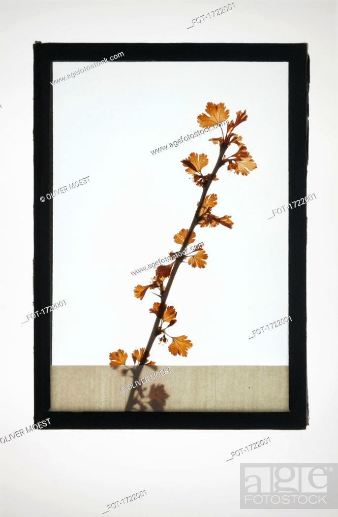 Imagen: Reproduction of Common Hawthorn plant specimen.