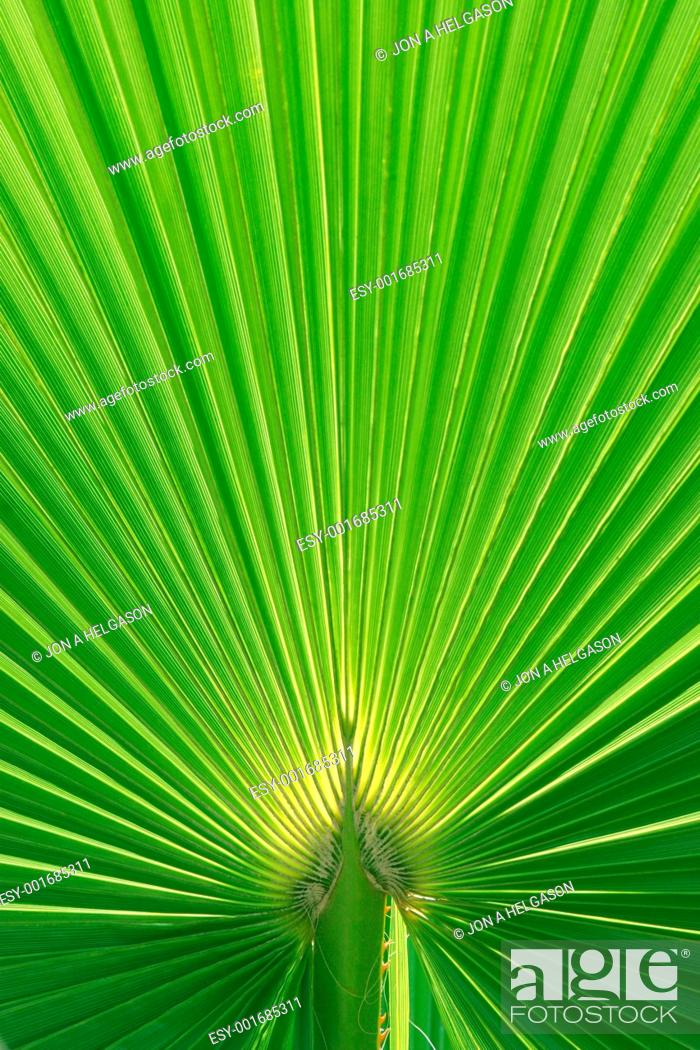 Stock Photo: Beautiful Palm Tree Leaf texture.