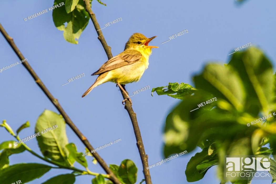 Stock Photo: Germany, Saarland, Bexbach, A melodious warbler sings on a branch.