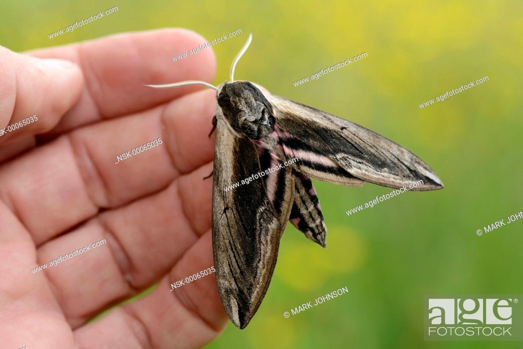 Stock Photo: Privet Hawk Moth (Sphinx ligustri) in hand, England, Lincolnshire.