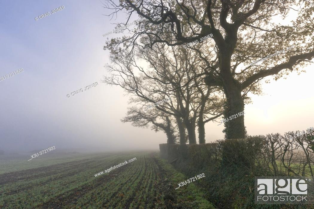Stock Photo: English oak trees at the side of a field in the misty countryside near Wrington, North Somerset, England.