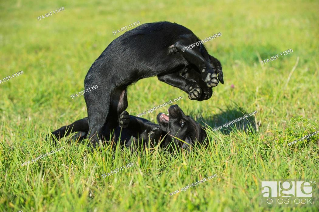 Stock Photo: Labrador Retriever Puppies.