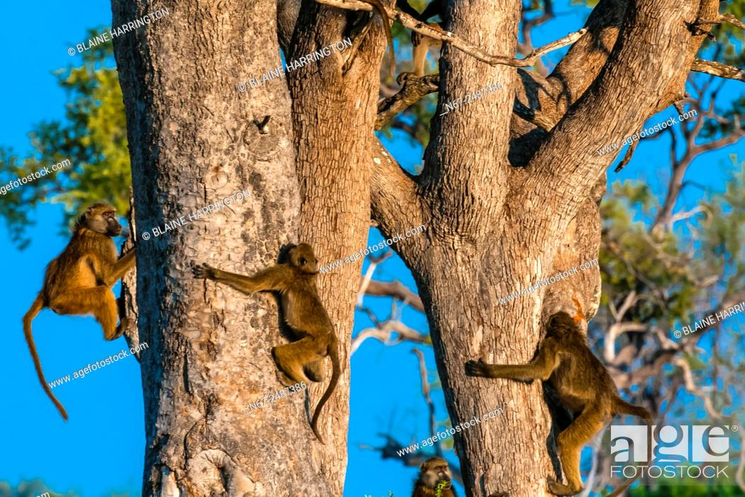 Stock Photo: Baboons in trees, Lebala Camp, Kwando Concession, Linyanti Marshes, Botswana.