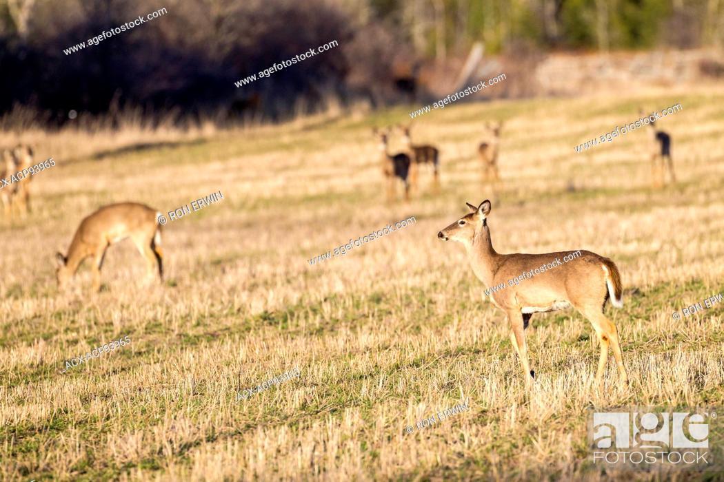 Stock Photo: White-tailed Deer (Odocoileus virginianus), Barrie Island, Manitoulin Island, Ontario.