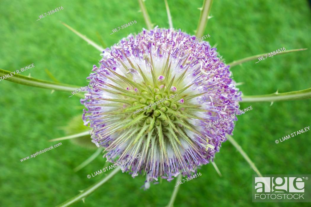 Stock Photo: Teasel (Dipsacuc fullonum), against green background, Herefordshire UK. July 2020.