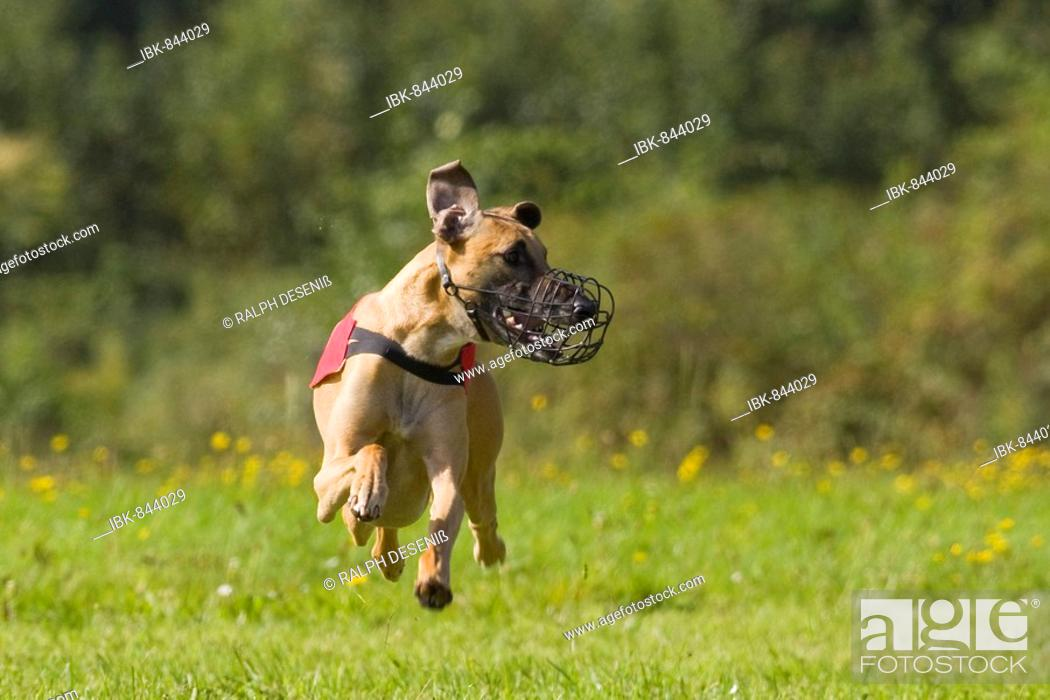 Stock Photo: Greyhound, Greyhound Coursing, Hoope, Lower Saxony, Germany, Europe.