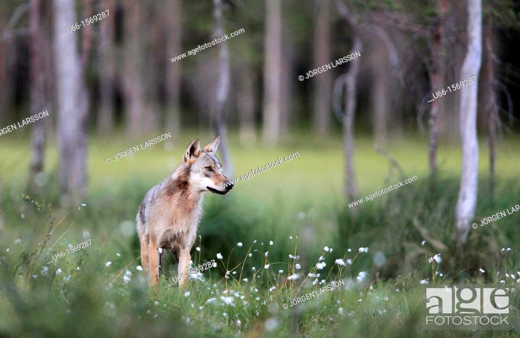 Stock Photo: Wolf Kuhmo Finland.