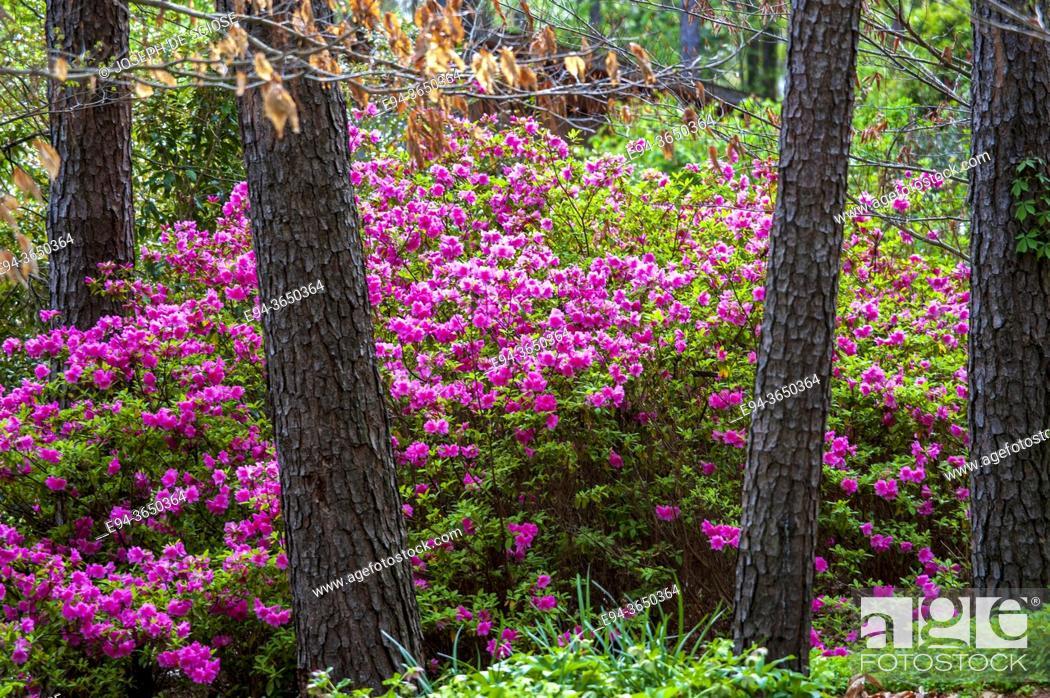 Stock Photo: Azaleas in spring bloom among pine trees.