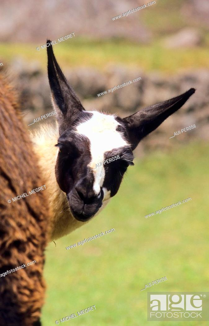 Stock Photo: Peru - Machu Picchu - Lamas.