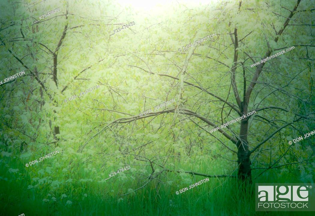 Stock Photo: Emerging spring foliage in pin cherry trees. Slide montage. Sudbury. Ontario, Canada.