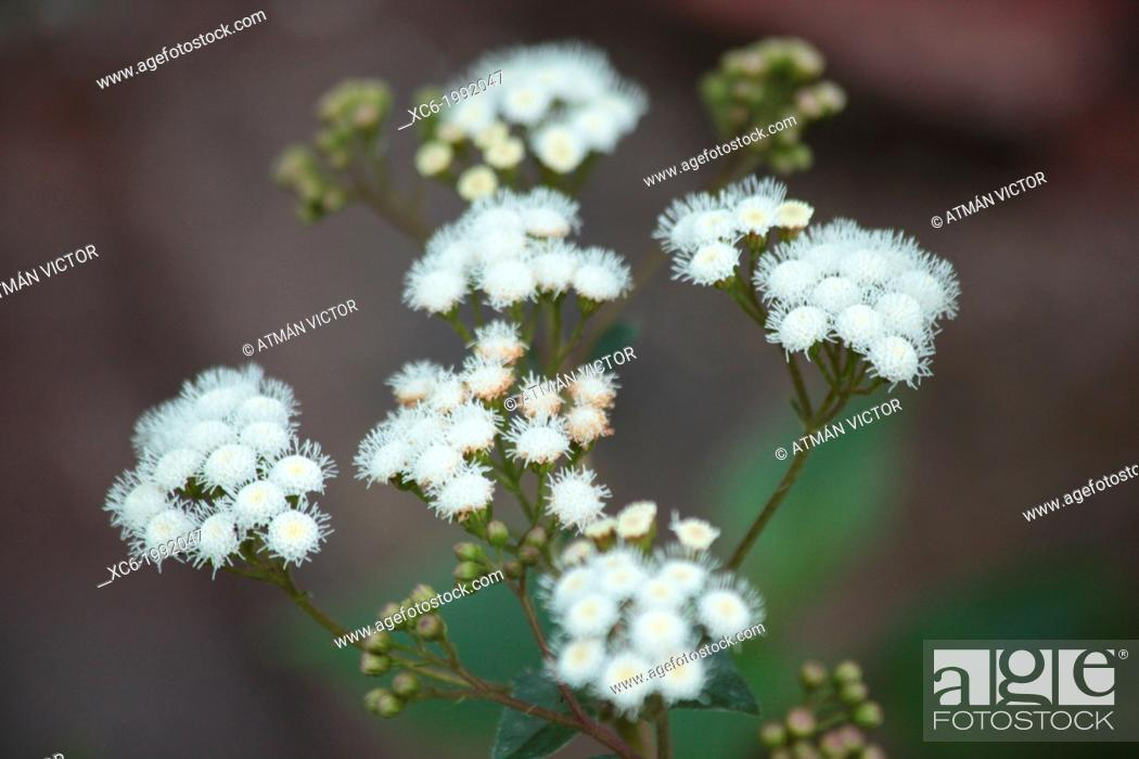 Stock Photo: Ageratina adenophora Eupatorium adenophorum commonly known as Espumilla.