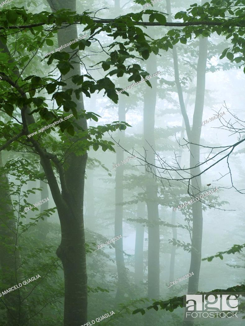 Stock Photo: Misty beech forest (Fagus sylvatica) at Font del Muro site. Summer time at Montseny Natural Park. Barcelona province, Catalonia, Spain.