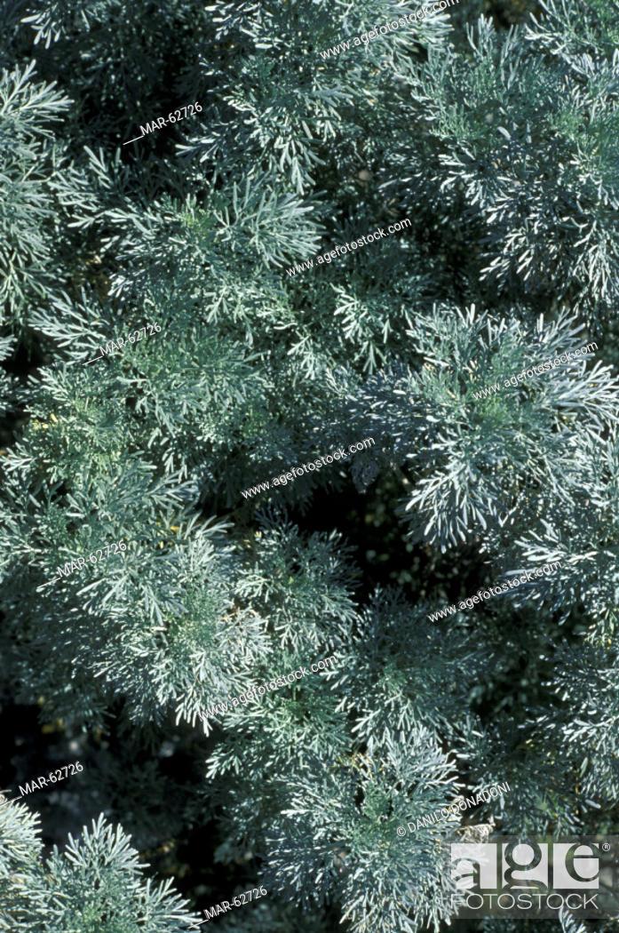 Artemisia Absinthium Wormwood: Artemisia Absinthium Wormwood Plant, Ferla, Italy, Stock