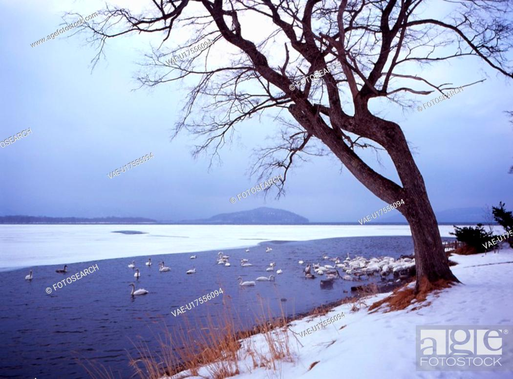 Stock Photo: mountain, snow scene, bird, migratory bird, swan, winter scene.