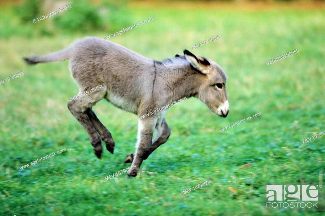 Stock Photo: Donkey - foal frolicking on meadow.