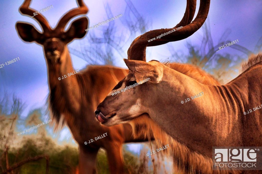 Stock Photo: Kudu (Tragelaphus strepsiceros), Chobe National Park, Botswana.