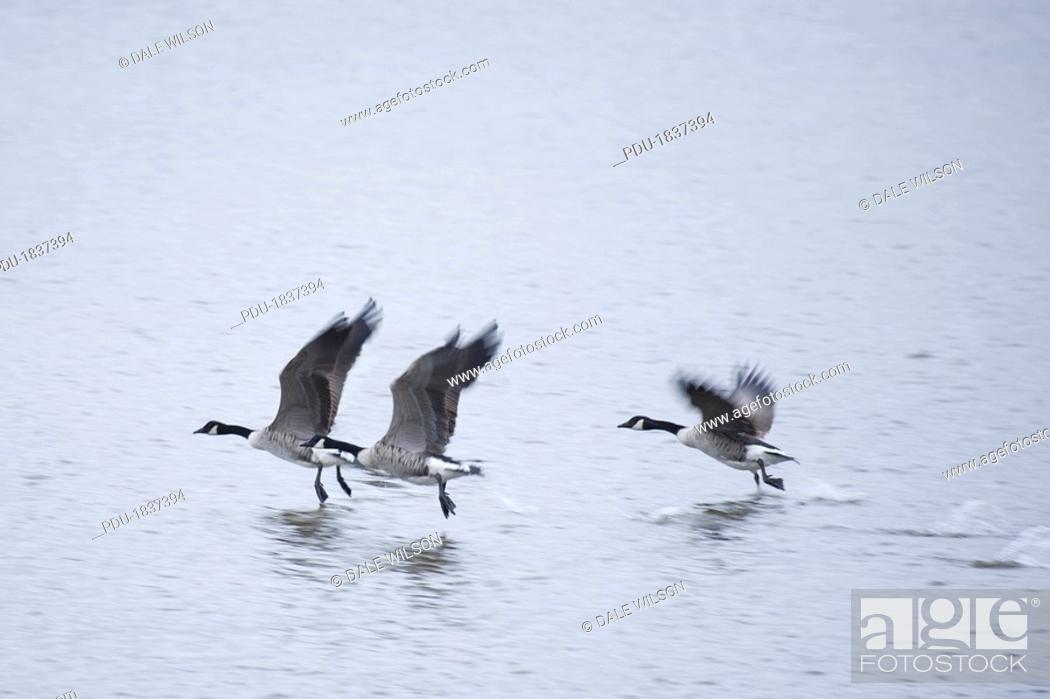 Stock Photo: Canada Goose Branta canadensis.