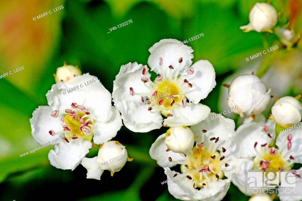 Stock Photo: Common Pear, Pyrus communis blossoms against green leaves.