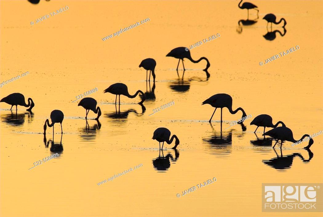 Stock Photo: Greater Flamingo, Phoenicopterus ruber, Laguna Larga de Villacañas, Toledo, Castilla La Mancha, Spain.