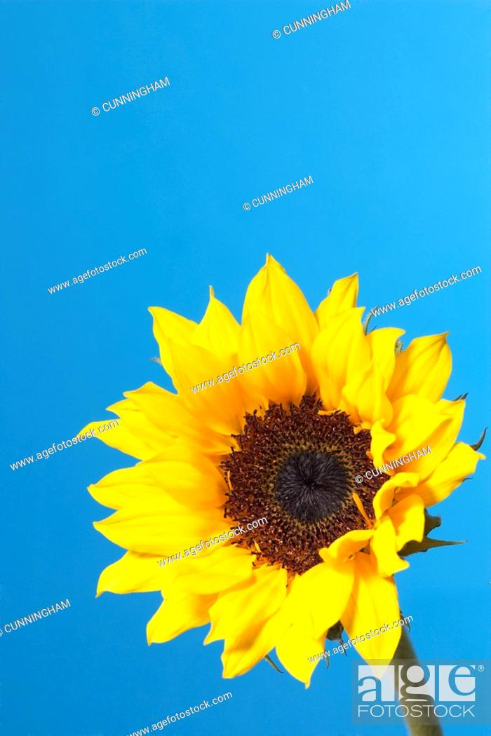 Stock Photo: Helianthus - variety not identified, Sunflower.