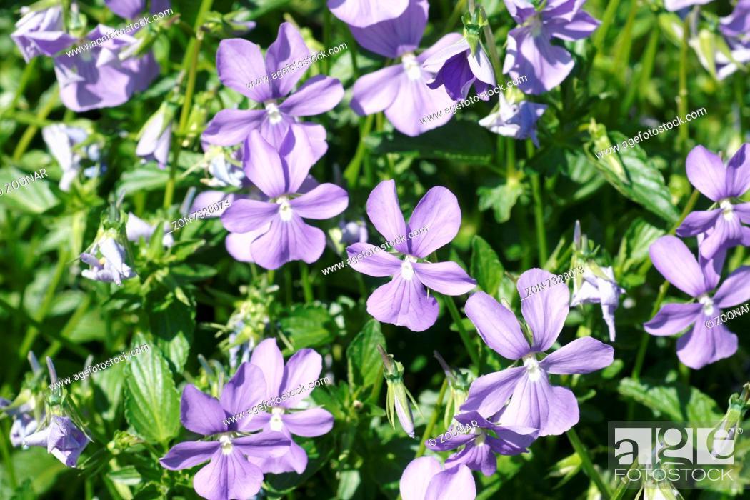 Stock Photo: Horned violet.