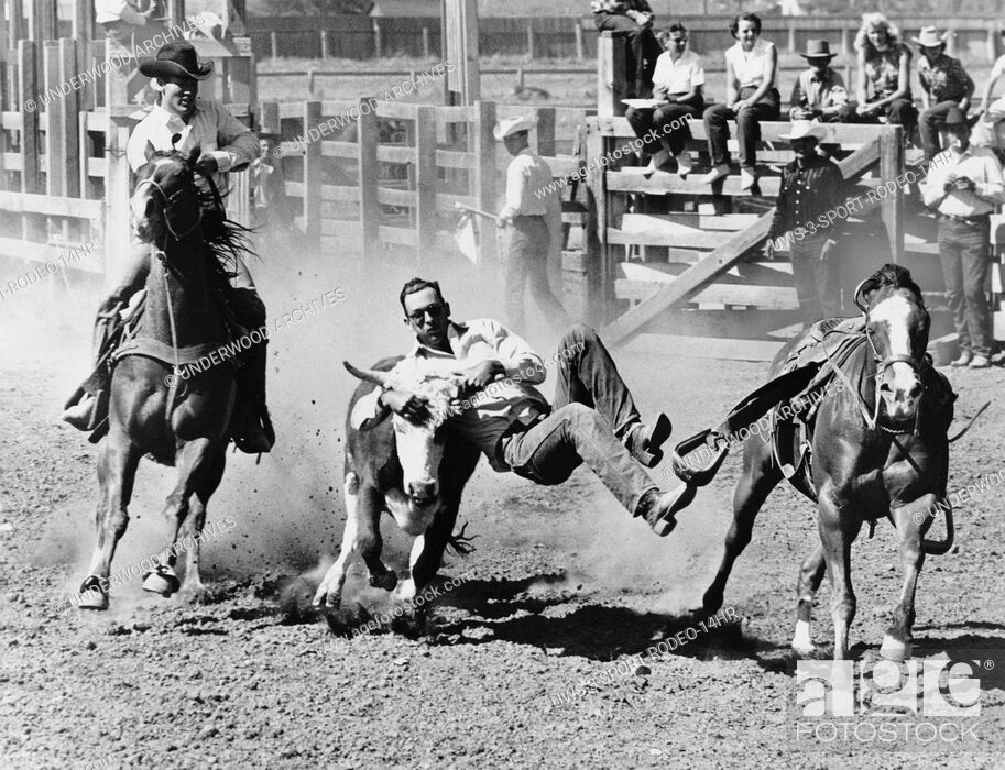 Stock Photo: Kansas City, Missouri: c. 1955.A steer wrestler, or bulldogger grabs a 700 pound steer by the horns to bring it to a stop and then onto the ground with all four.