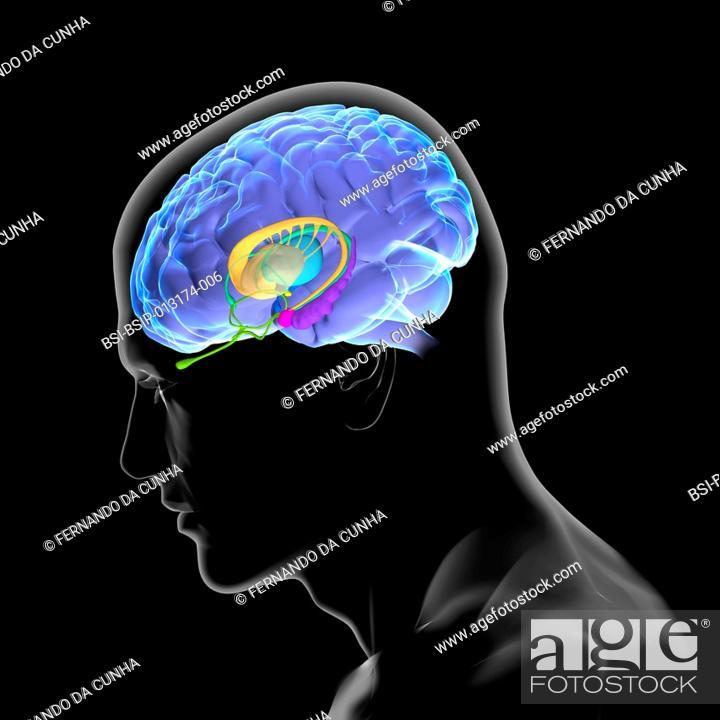 Anatomy Of The Brain The Caudate Nucleus The Putamen The Globus