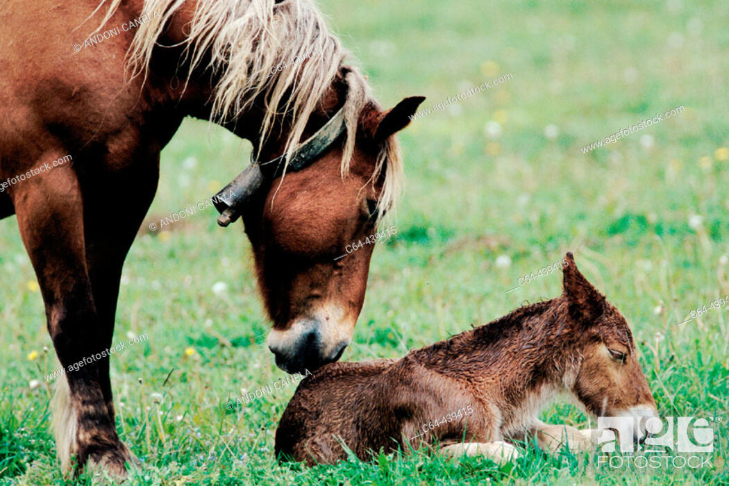 Stock Photo: Mare and foal. Valle del Roncal. Navarra. Spain.