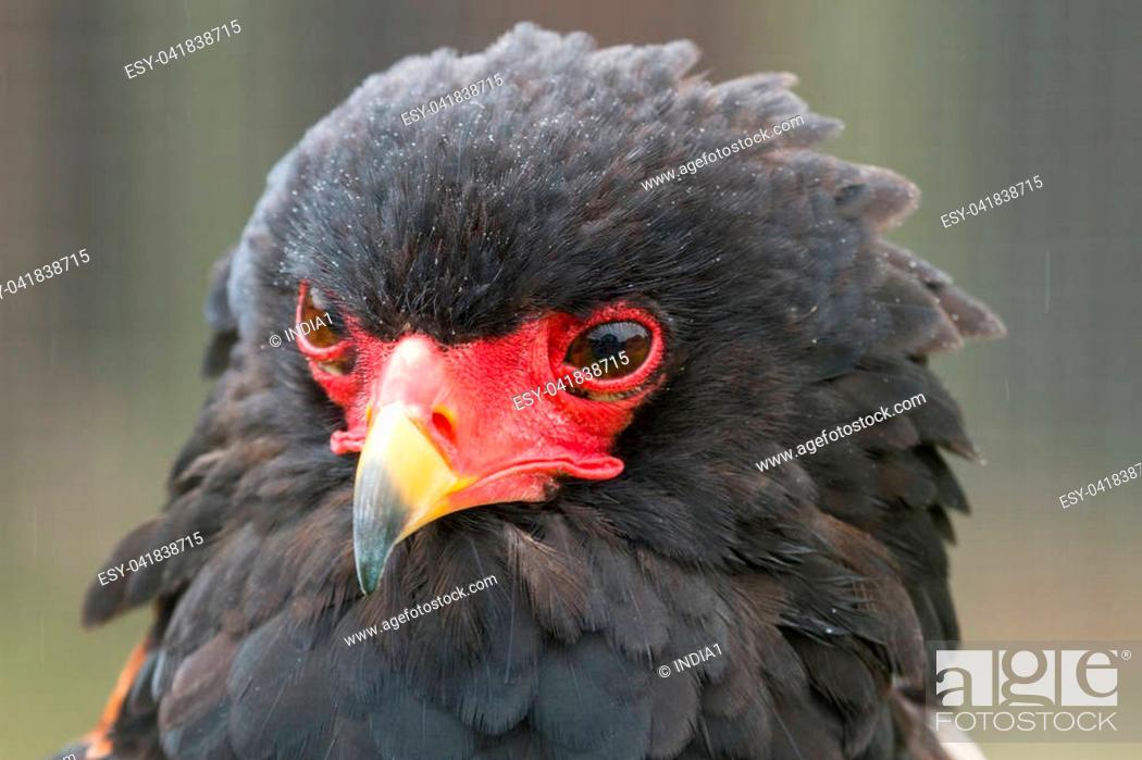Stock Photo: photo portrait of a Bateleur eagle.