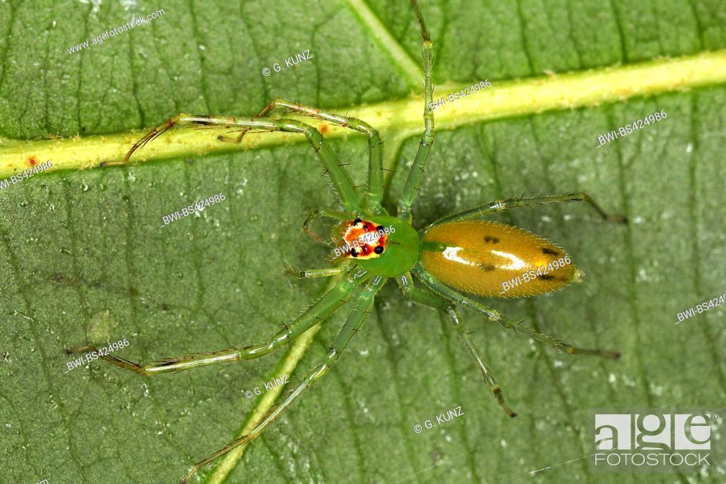 Stock Photo: Jumping spider (Lyssomanes spec.), male, Costa Rica.