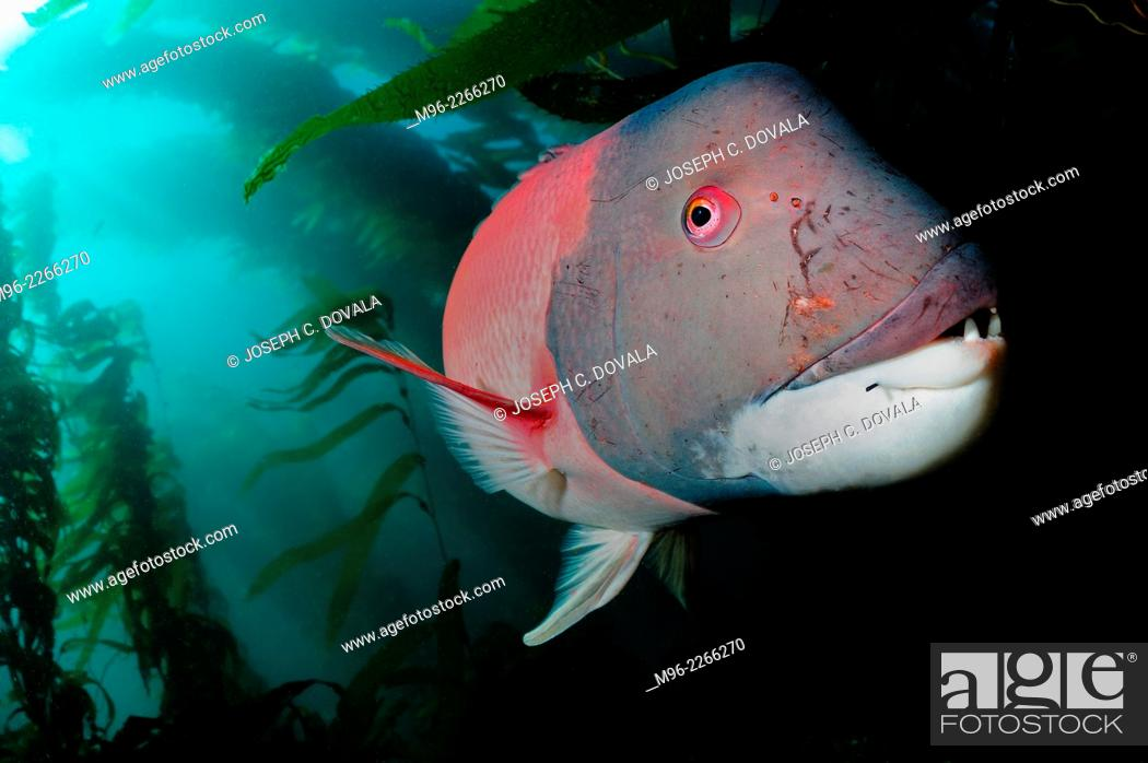 Stock Photo: Scarred male sheephead fish, Anacapa Island, California, USA.