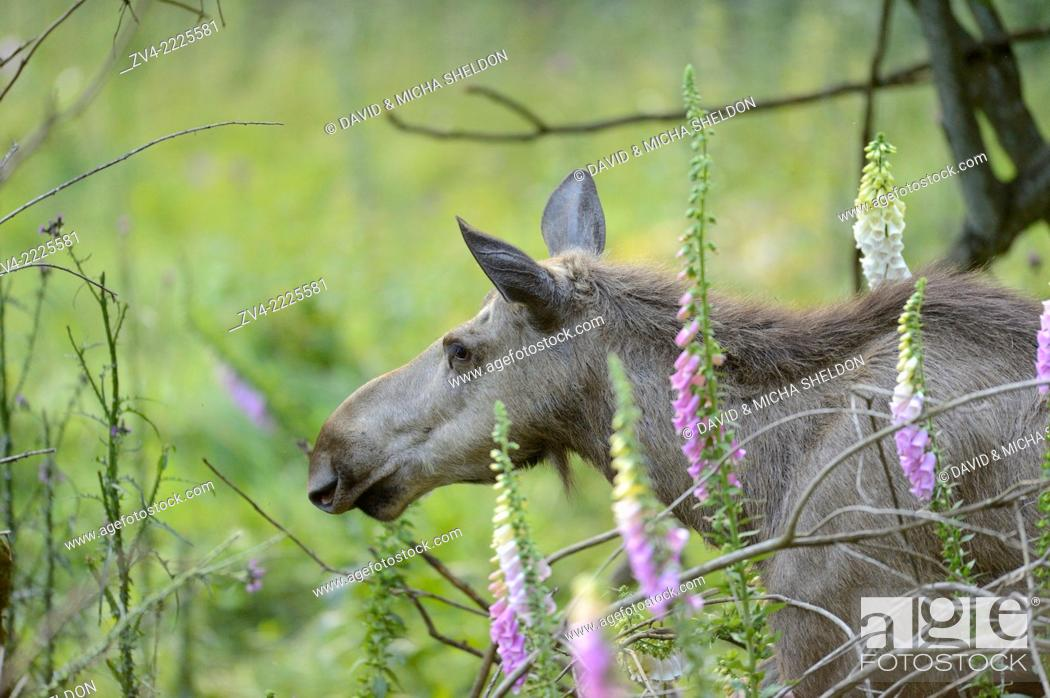 Stock Photo: Portrait of a Eurasian elk (Alces alces) in a forest in early summer.