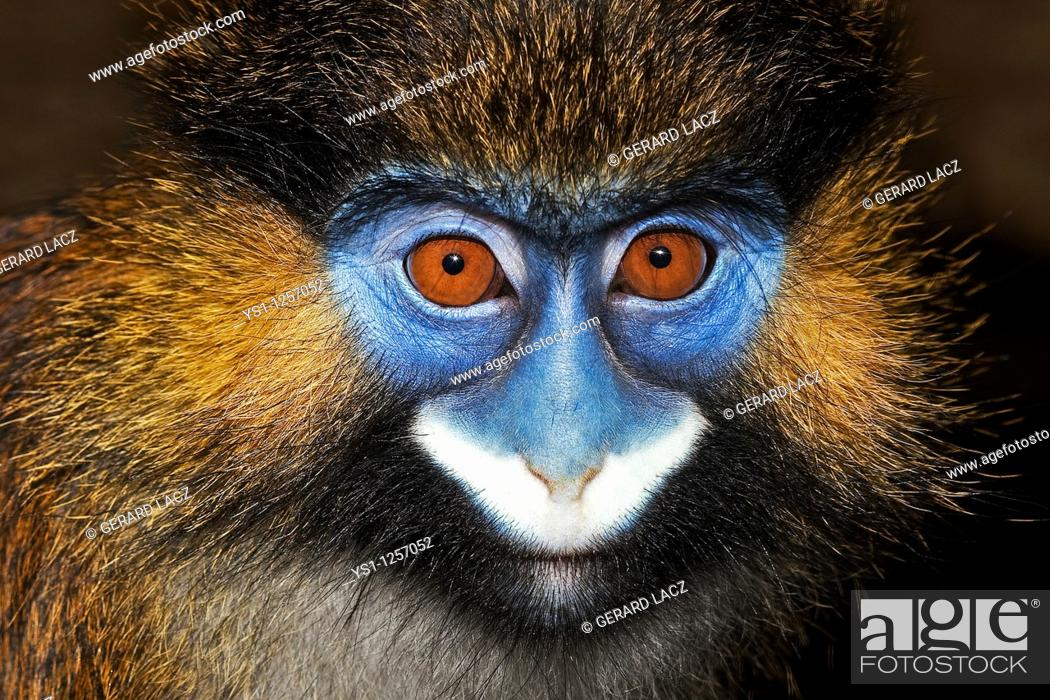 Stock Photo: HEAD CLOSE-UP OF MOUSTACHED MONKEY OR MUSTACHED MONKEY cercopithecus cephus.