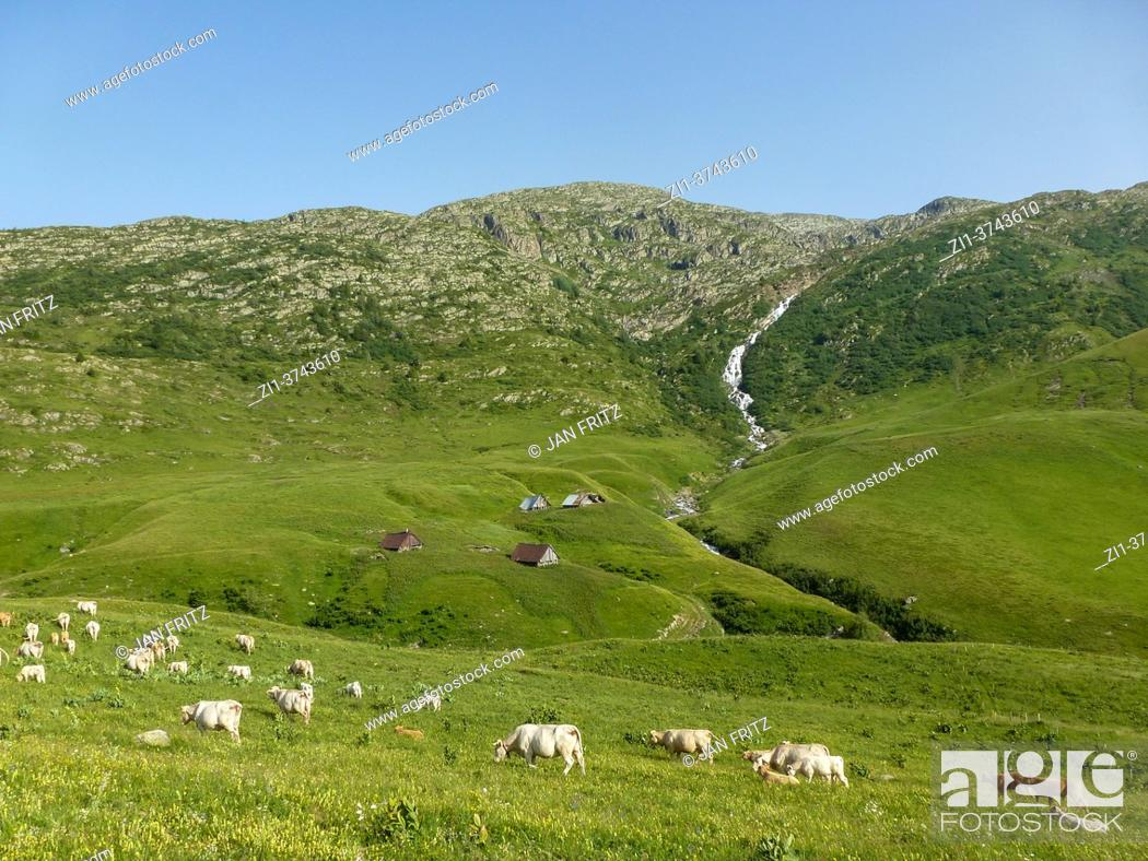 Photo de stock: sheep at green in mountains in Auvergne, France.