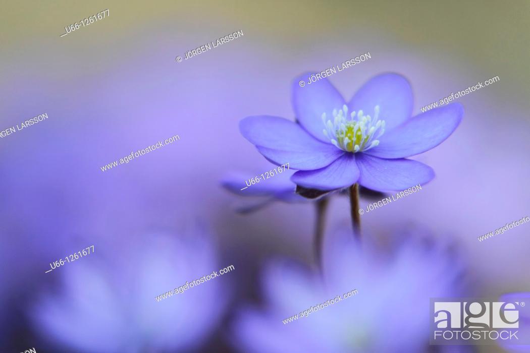 Stock Photo: Hepatica, Blue anemorte, Sweden.
